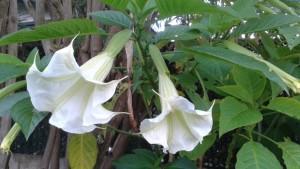 Floripondio Microdosis Baja California Sur