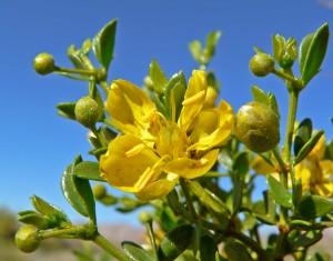 Gobernadora Microdosis Baja California Sur