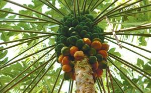 Papaya Microdosis Baja California Sur