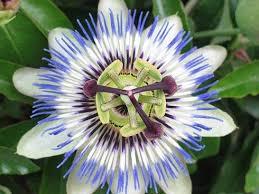 Pasiflora Microdosis Baja California Sur