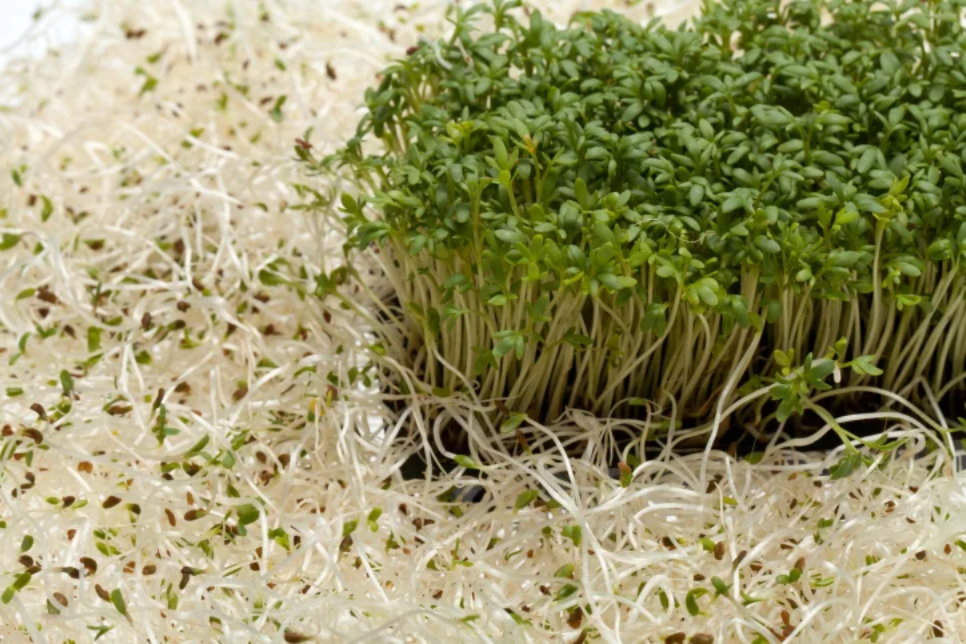 Alfalfa Microdosis Baja California Sur