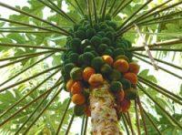 Papaya-300x185